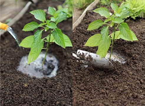 Данная овощная культура требует полива отстоянной или дождевой водой