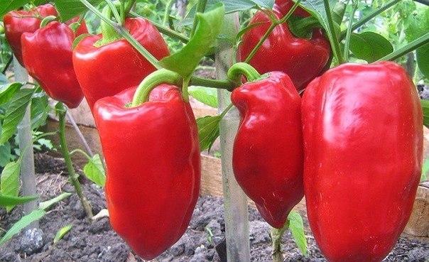 Если соблюсти все правила выращивания, начиная от того, как выполнена посадка перца, формирование кустов и дальнейший уход за ними, то можно будет собрать хороший урожай, здоровых и полезных овощей