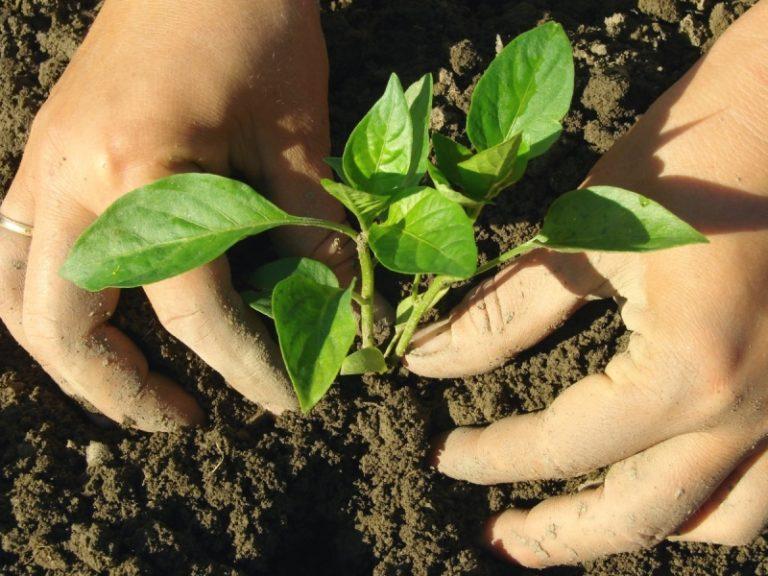 Высота растения при посадке не должен быть менее 25 см