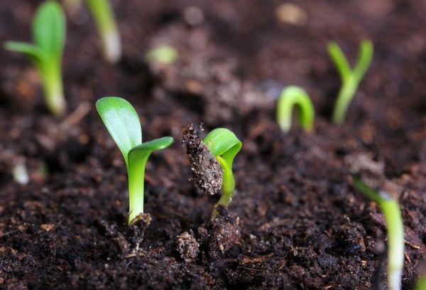 В феврале у огородников начинается посев, и на подоконниках появляются первые зеленые ростки