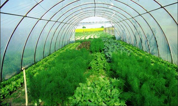 Решив вырастить укроп, следует знать, что он из тех растений, которым необходима хорошая освещенность