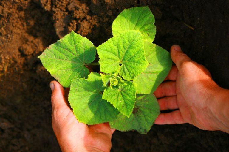 Получить хороший урожай в теплице поможет бдительность садовода
