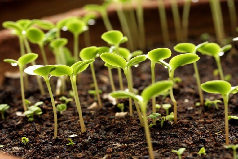 Если все сделано садоводом правильно, то у зеленых насаждений начинает активно формироваться корневая система. Лучше в этот момент произвести пикировку