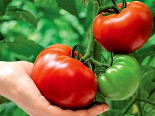 Важно знать все возможные способы ускорения роста томатов