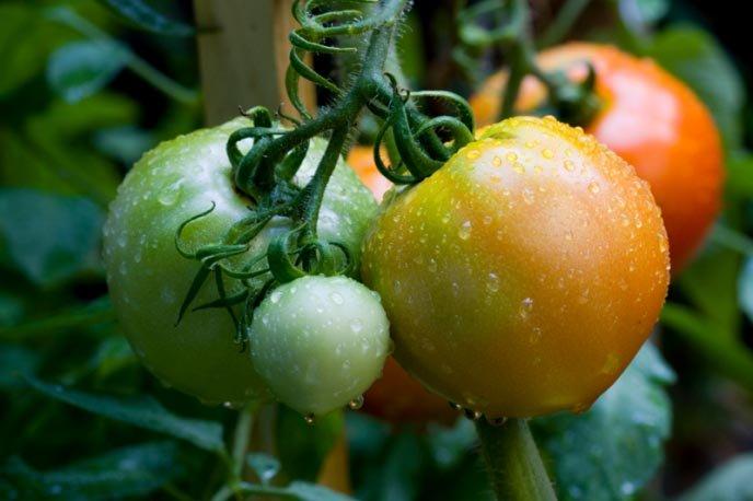 Когда несколько плодов побурели или порозовели, их рекомендуется снять