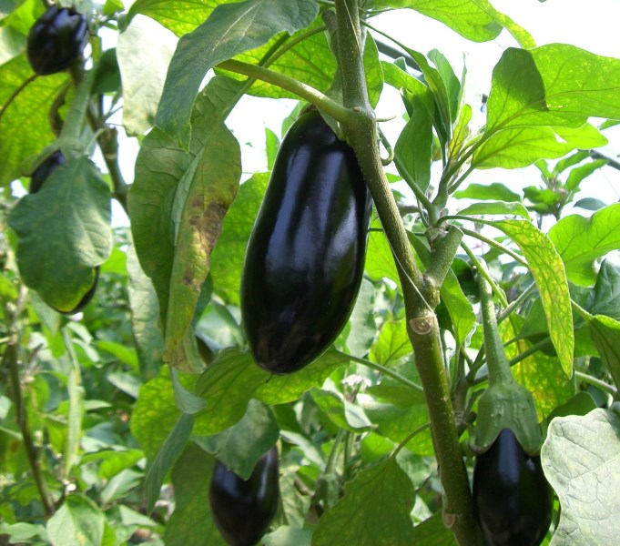 Выращивание баклажанов в сибири 38