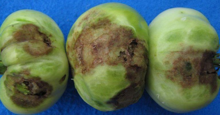Не инфекционная и не бактериологическая по происхождению, вершинная гниль томатов не требует в борьбе с ней выкорчевывать пораженный куст, или использовать опасные и вредоносные химикаты