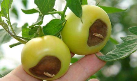 Каждый, кто выращивал овощи, обязательно сталкивался с такой неприятностью, как вершинная гниль помидоров