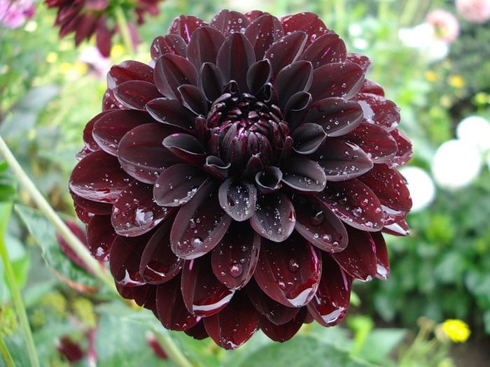 Цветок георгин значение