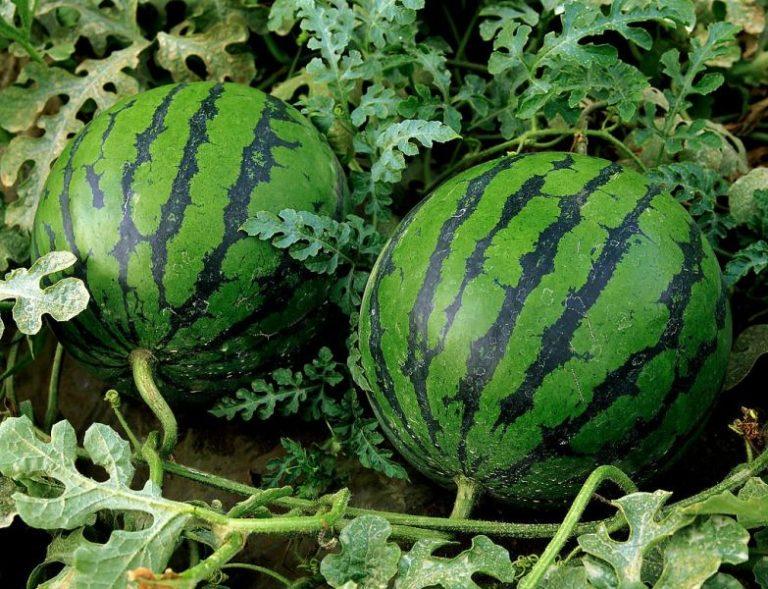Чтобы арбузы вырастить такими же, как на упаковке семян, следует для начала их правильно посадить, а после предоставить надлежащий уход
