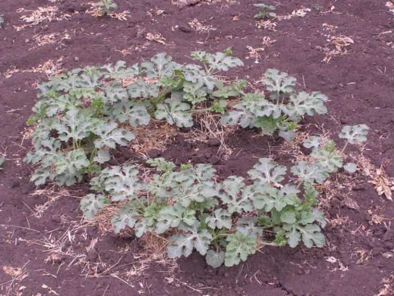 Прекрасно подойдет нейтральная почва или щелочная, поэтому именно в нее нужно сажать арбузы