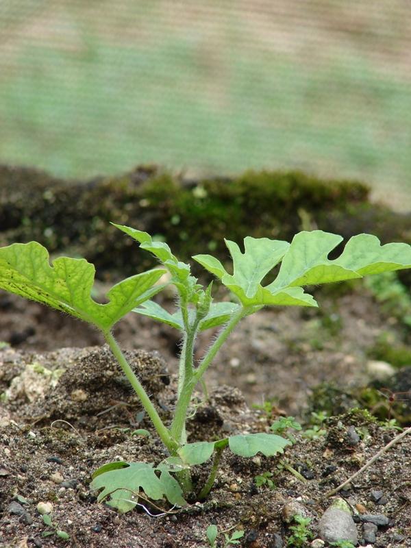 Когда на ростках появится от трех листьев, она готова для пересадки в теплицу