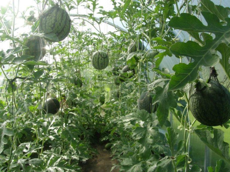 Арбузы в теплице не стоит спешить убирать, поскольку даже самые большие плоды могут в итоге оказаться недозрелыми