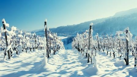 Все растения боятся сильных заморозков, потому нужно знать, как укрыть виноград на зиму
