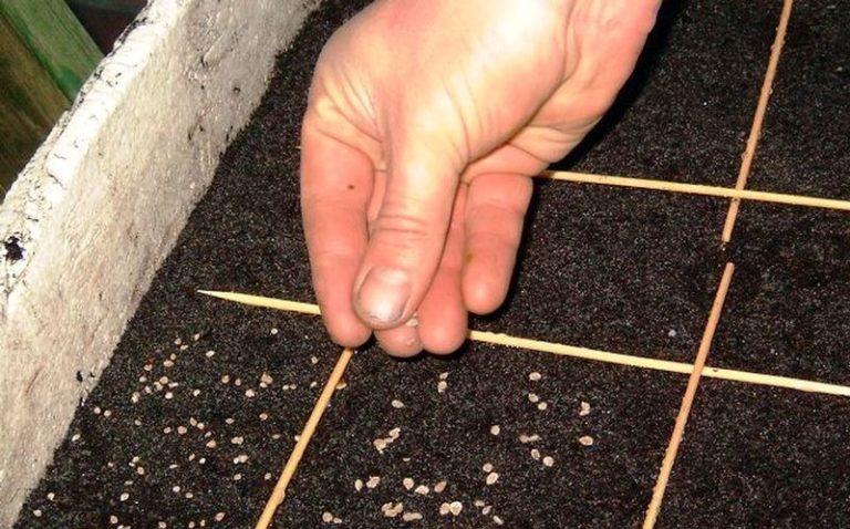 Подготовленные семена сеют в деревянные или пластмассовые ящики, наполненные рыхлым и плодородным субстратом с добавлением специальных удобрений