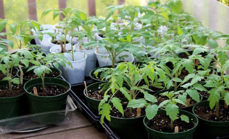 Как правильно вырастить рассаду помидора в домашних условиях