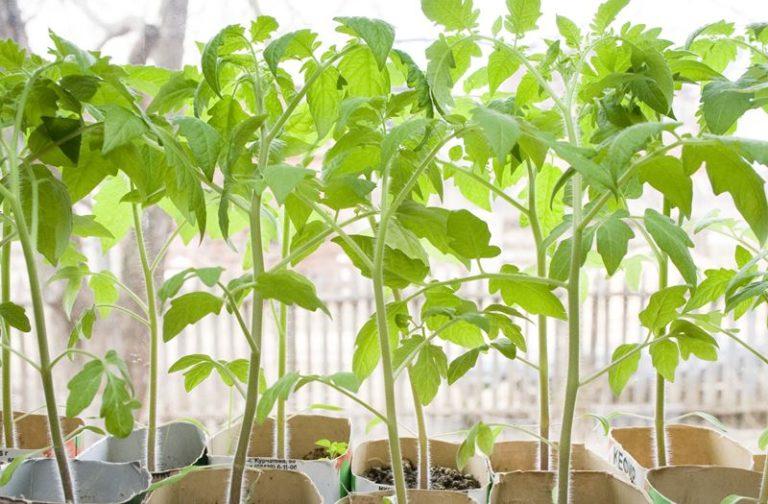 Дружные, крепкие и выровненные всходы можно получить только из качественных, однородных по размеру и массе семян