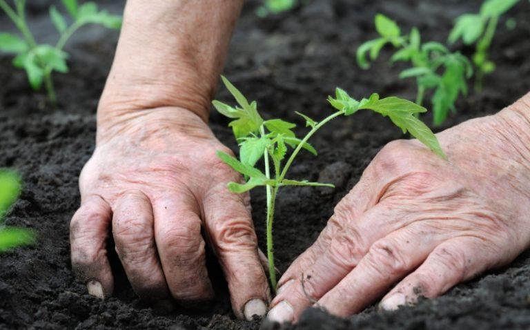 Крепкую и коренастую рассаду сажают в лунки