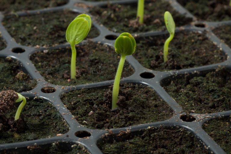 После появления первых ростков, растение пересаживают в горшочки с радиусом не менее 5 см