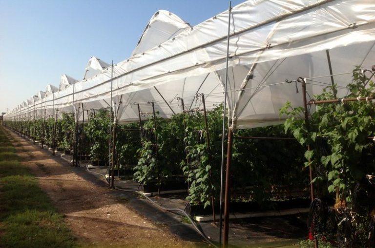 Разведение малины в закрытом грунте — самый приемлемый способ для многих садоводов