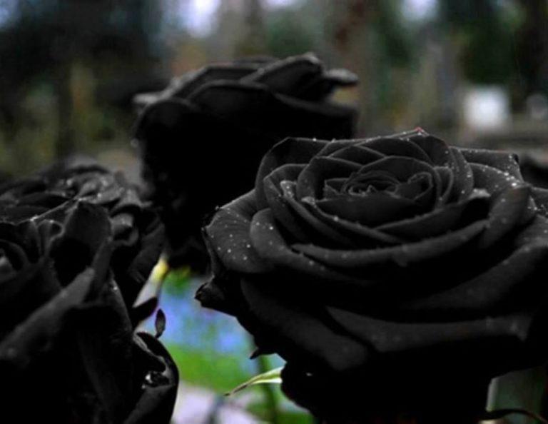 Вырастить черную розу мечтают практически все