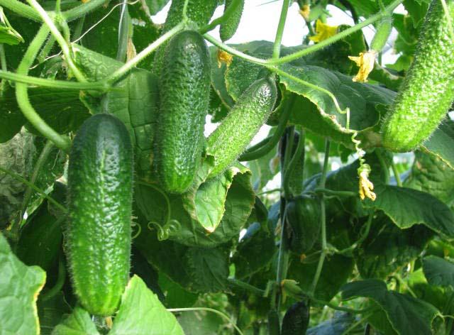 Лучший вариант — безбалластные удобрения, которые необходимо разводить в воде и опрыскивать ими растение