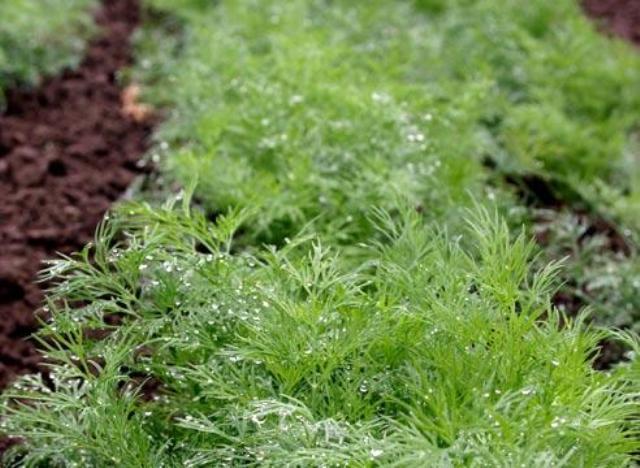 Многие рекомендуют сеять укроп и другую зелень (петрушку, сельдерей)