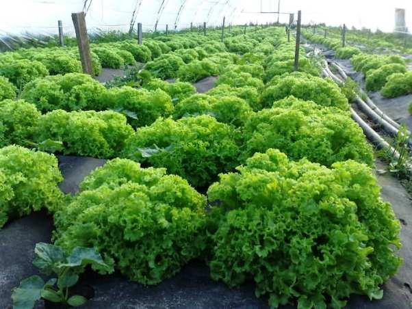 Чтобы не возникло проблем с совмещением культур, сейте шпинат и салат, а между ними выращивайте капусту