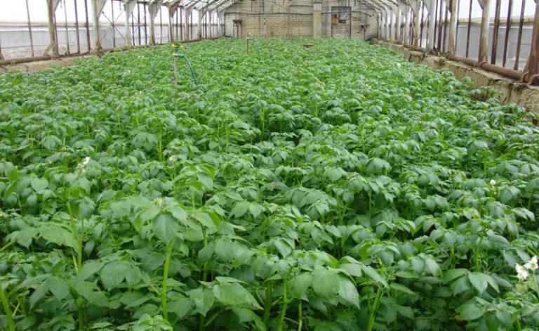 Универсальным овощем является картофель