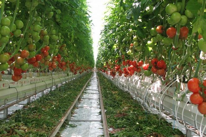 В теплом пространстве под крышей хорошо себя чувствуют овощи