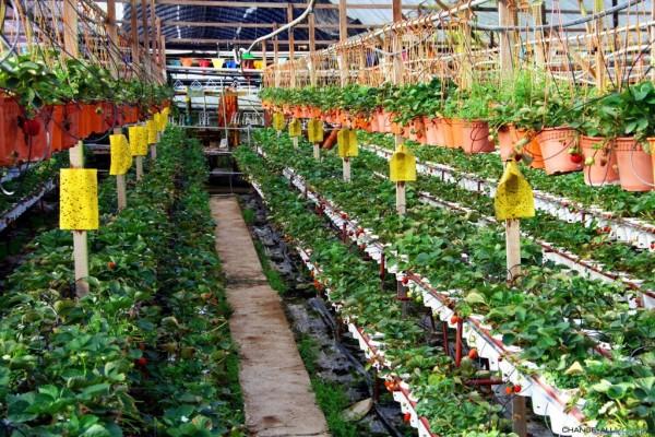 При возделывании низкорослых культур, например, цветов, клубники, их размещают в 2-3 яруса