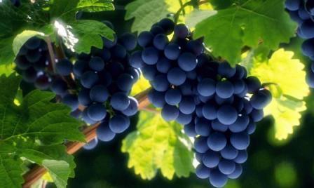 Виноград является древнейшей культурой, выращиваемой человеком