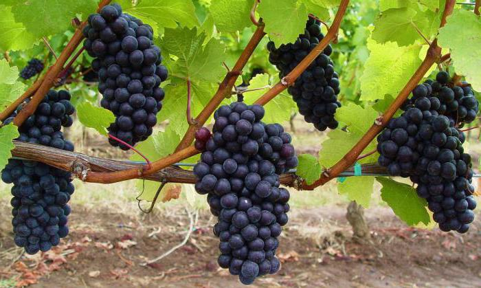 Для выращивания винограда в домашних условиях при ограниченном пространстве нужно выбирать сорта, которые самоопыляются