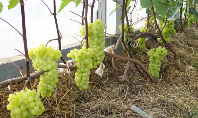 Открытый грунт уступает тепличным условиям. В них плоды появляются значительно раньше, многие сорта способны развиваться только в тепличных условиях