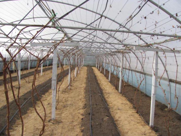 Происходит выращивание винограда в Сибири в теплице
