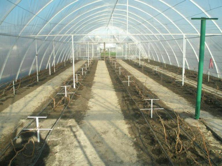 Сорта для посадки в Сибири выбирают в основном без семян, такие как Кишмиш, Иринка, Коринка русская, Алешенька и некоторые сорта Сидлис