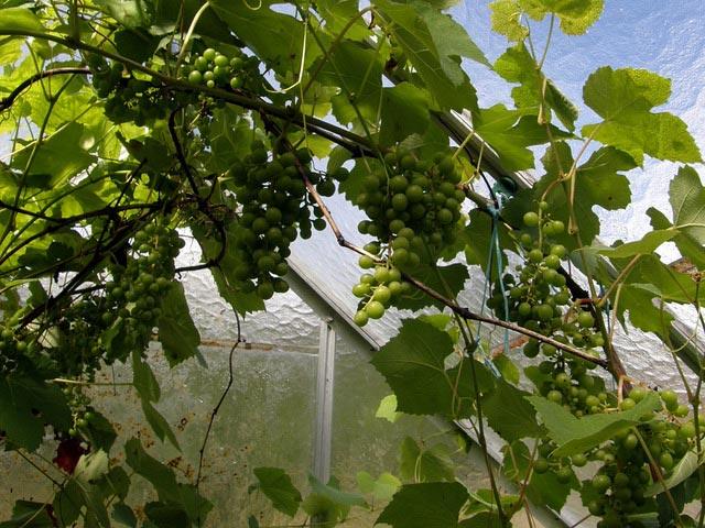 Соблюдая все правила ухода за лозами и плодами, можно вырастить довольно хороший и богатый урожай