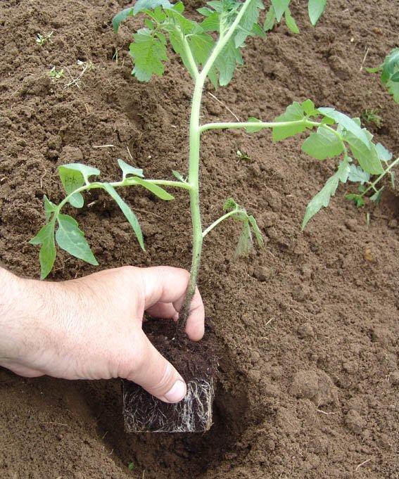Чаще всего рассада томатов высаживается уже ближе к концу весны — началу лета