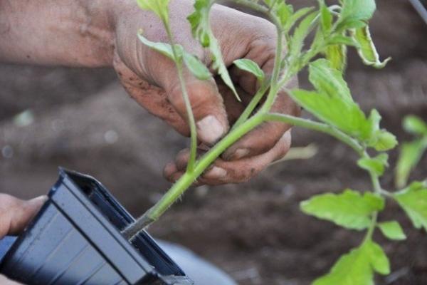 Высаживать растения в солнечный день лучше во второй половине дня, а в пасмурную погоду — в первой половине