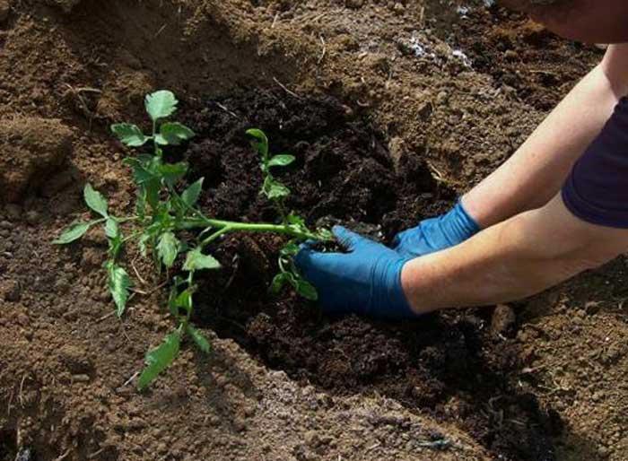 Высаживать помидоры лучше всего в тех местах, где раньше росли огурцы, лук или капуста