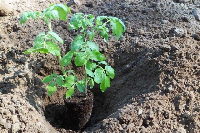 Помидоры в открытый грунт необходимо высаживать в определенные сроки, которые рекомендованы опытными овощеводами