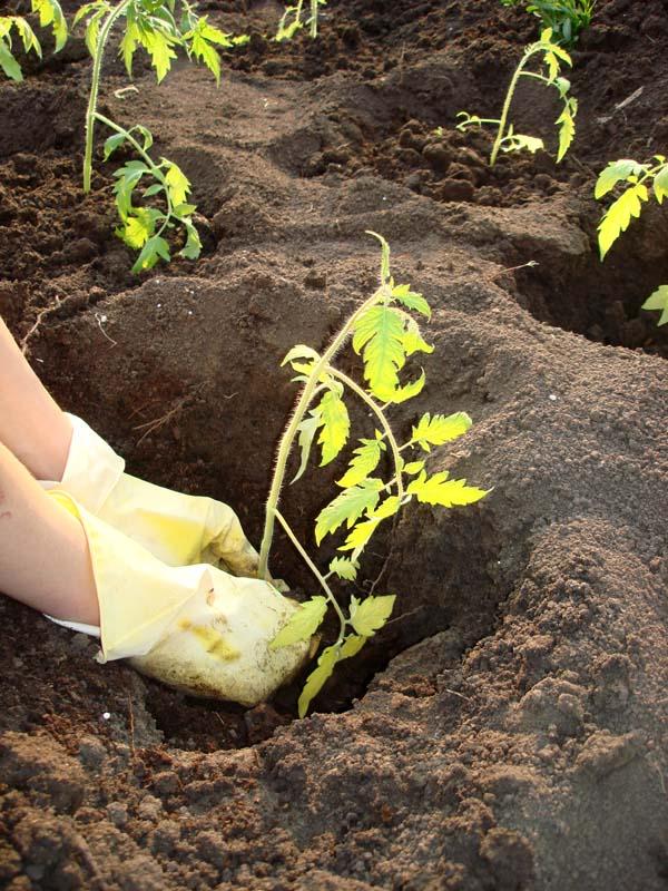 Садить помидоры семенами в открытый грунт не так рационально, как это выходит с рассадой