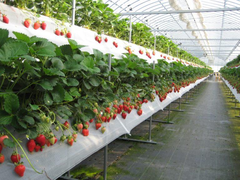 Теплицы для выращивания клубники круглый год действительно существуют