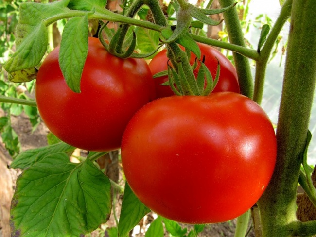Большинство огородников отдают предпочтение проверенным сортам, которые выращивают много лет. Одним из них является помидор Волгоградский