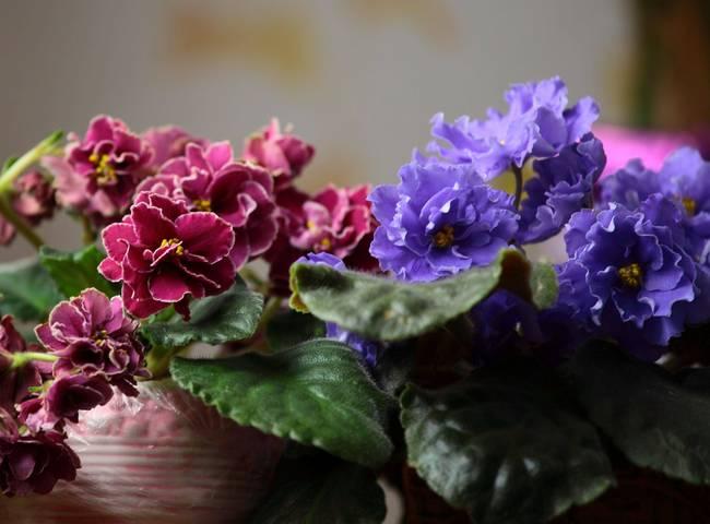 Комнатные цветы, пересаженные в дни Стрельца, очень быстро зацветают