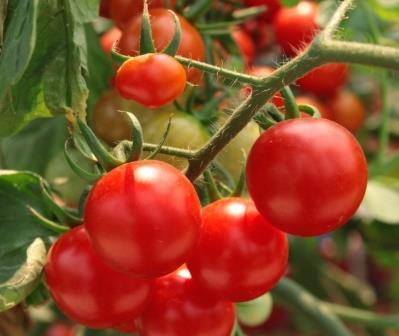 Многих заядлых огородников интересует томат Хоровод