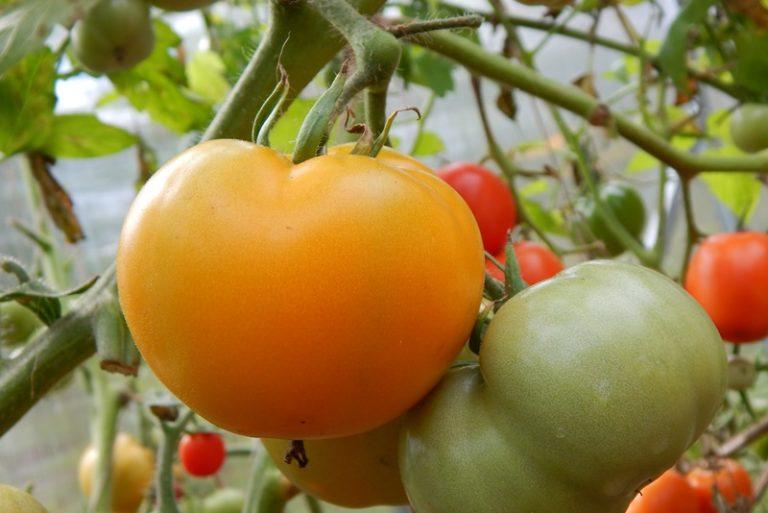 Многие аграрии уверены: самые урожайные томаты выводят сибирские специалисты по селекции
