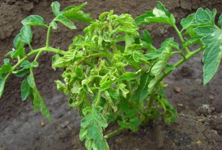 Может вызвать закручивание листьев вверх и поражение их вредителями: черной тлей, паутинным клещом и белокрылкой