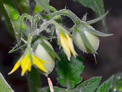 Далеко не каждый дачник знает, почему не завязываются помидоры в теплице