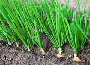 Зеленый лук, выращивание которого в отличие от других культур не требует особого ухода и полива, можно встретить в любом огороде